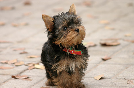 General Image - Puppy Yorkie
